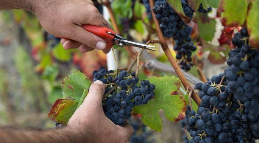 Как правильно подготовить виноград к зиме— удобрить, обрезать и укрыть