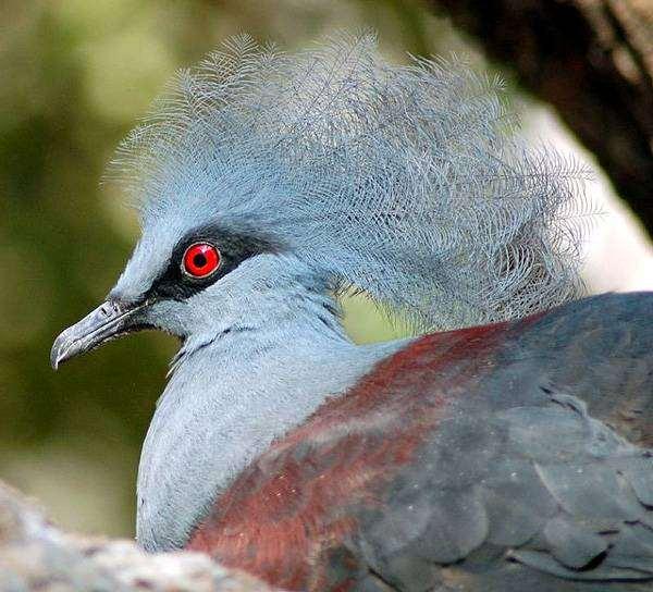 Венценосный голубь — непревзойденный красавец