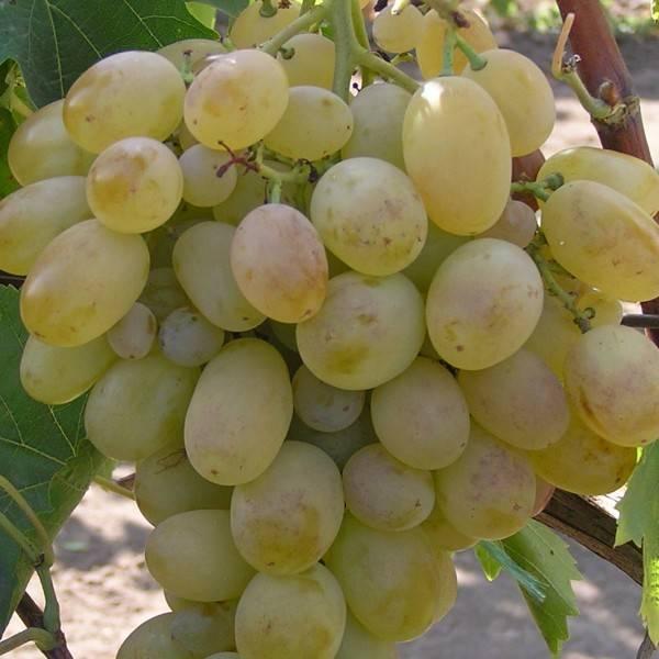 """Столовый сорт винограда """"подарок запорожья"""", описание с фото"""