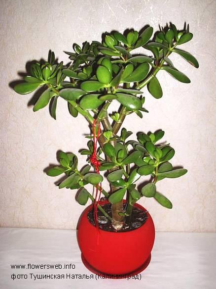 Денежное дерево (толстянка): виды, уход (40+ фото) +отзывы