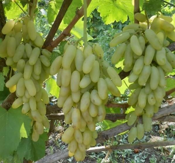 """Описание особенностей винограда сорта """"дамские пальчики"""", фото"""
