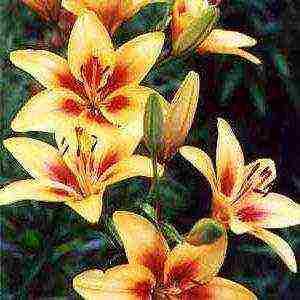 Лилия мапира (mapira): описание сорта, фото, отзывы, особенности цветения