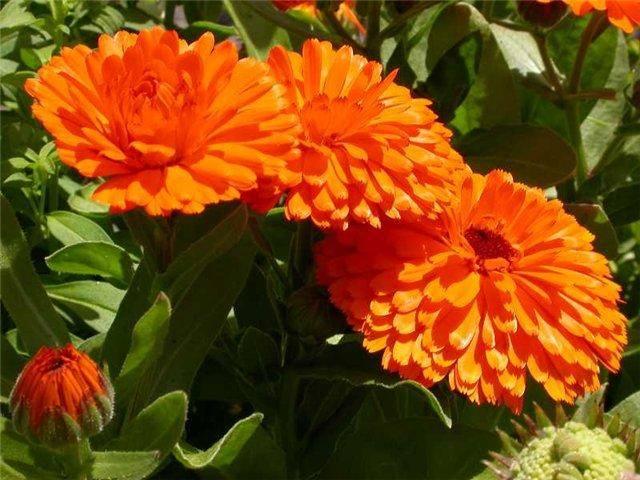 Когда и как сажать семена календулы на рассаду в домашних условиях