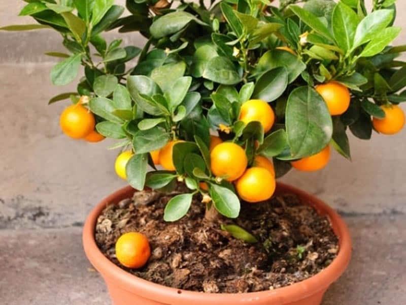 Как посадить апельсин в домашних условиях из косточки, инструкция по подготовке и посадке семян, дальнейший уход за апельсиновым деревом