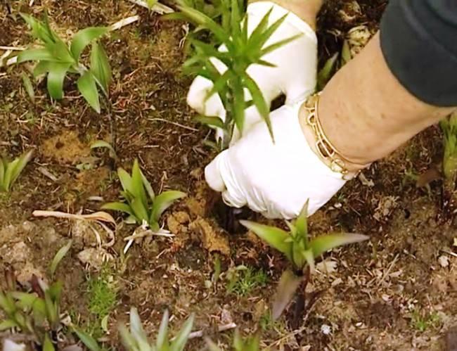 Посадка лилий весной - когда и как сажать луковицы в открытый грунт