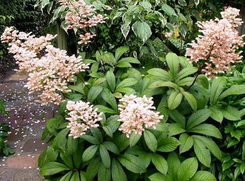 Роджерсия цветок: посадка и уход в открытом грунте