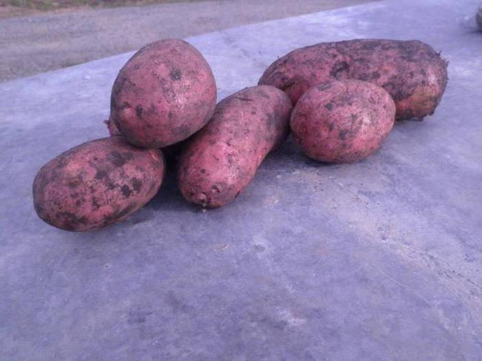 Картофель кумач