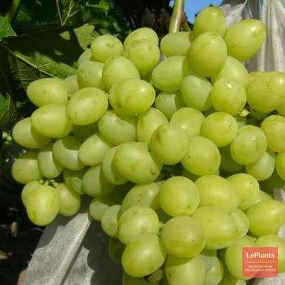 О винограде московский белый