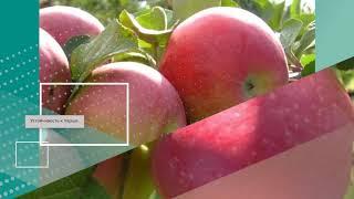 И поздней зимой не оставит вас без яблок сорт памяти мичурина