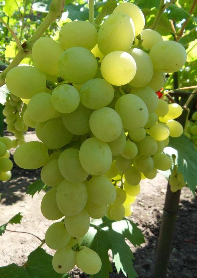 Сорт винограда виктор, описание с характеристикой и отзывами, особенности посадки и выращивания, фото