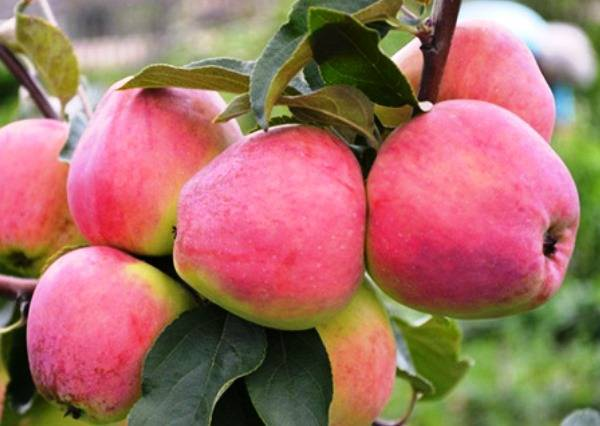 Сорт яблок кандиль орловский: характеристика, описание сорта, посадка и уход