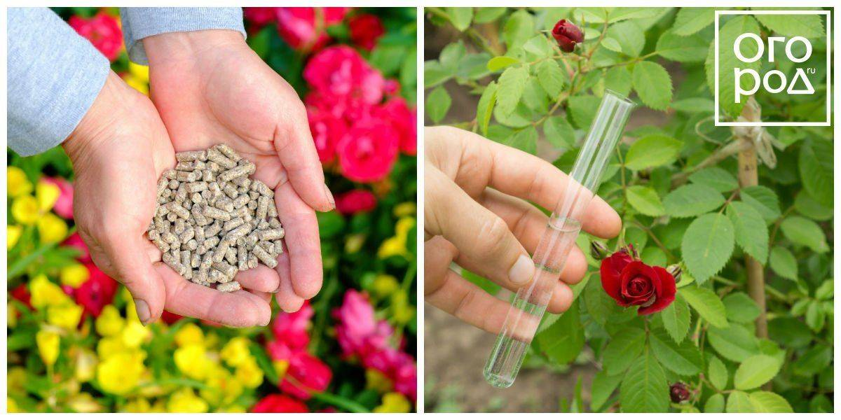 Подкормка роз осенью: какими удобрениями проводится. уход за цветами и подготовка к зиме
