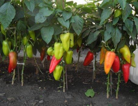 Перец екатерина f1: отзывы, фото, урожайность, описание сорта