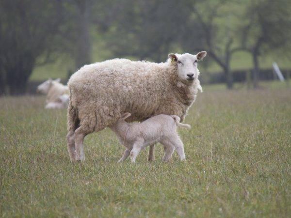 Окот у овец: как принять роды, предродовой и после родовой уход