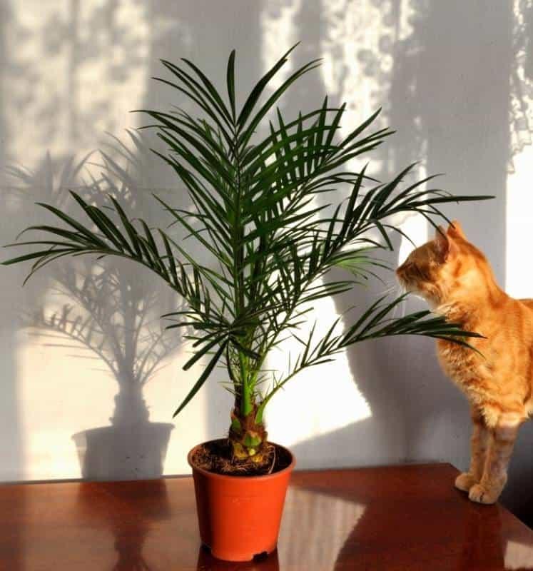 Комнатные пальмы: фотографии и названия разновидностей