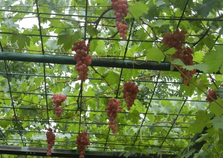 Виноград в подмосковье: особенности выращивания