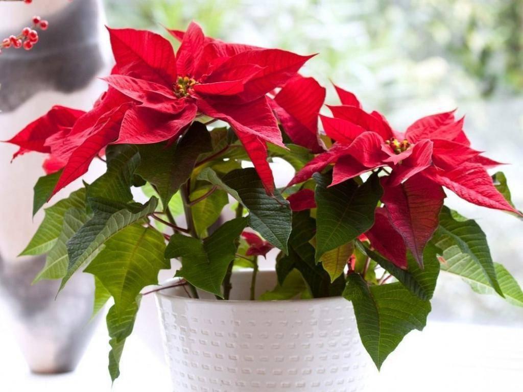 Пуансеттия: размножение и уход в домашних условиях, фото цветения, рождественская звезда, пересадка, после покупки, как обрезать, почему желтеют и опадают листья?