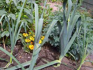 Лук-порей: выращивание на огороде из семян