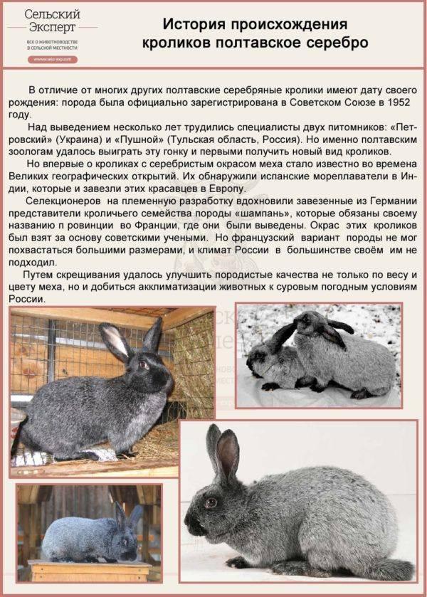 Кролики породы полтавское серебро: описание, характеристика, фото, отзывы