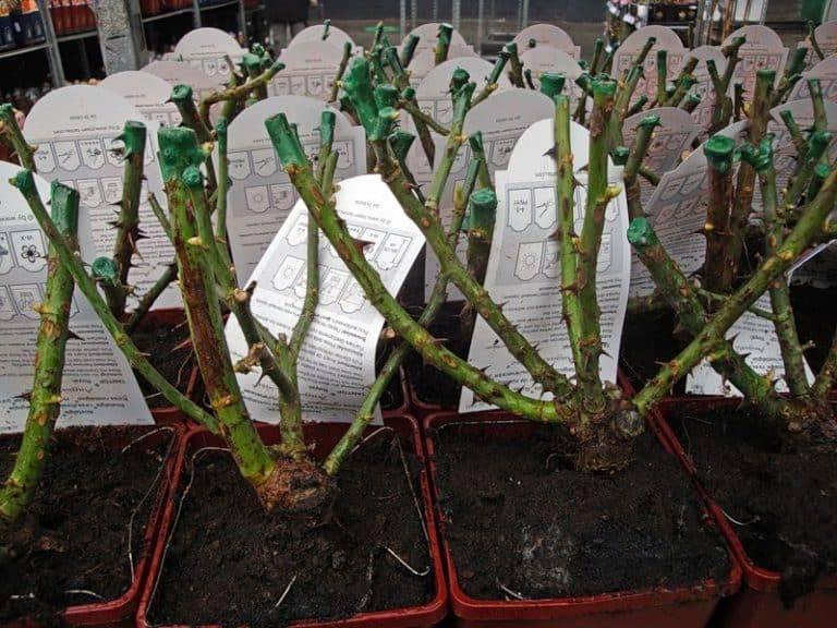 Энциклопедия садовода: 16 самых красивых сортов пионовидных роз с фото