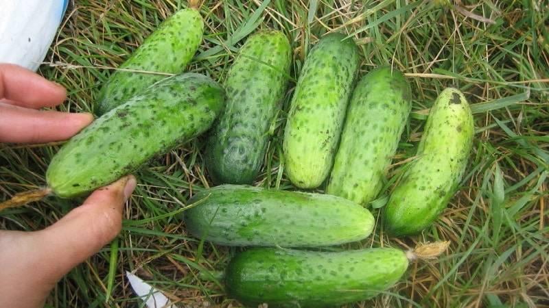 Семена огурца f1 марьина роща