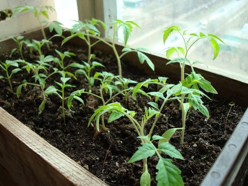 Как поливать рассаду помидоров: агротехника рассады, правильный полив и определение влажности грунта.