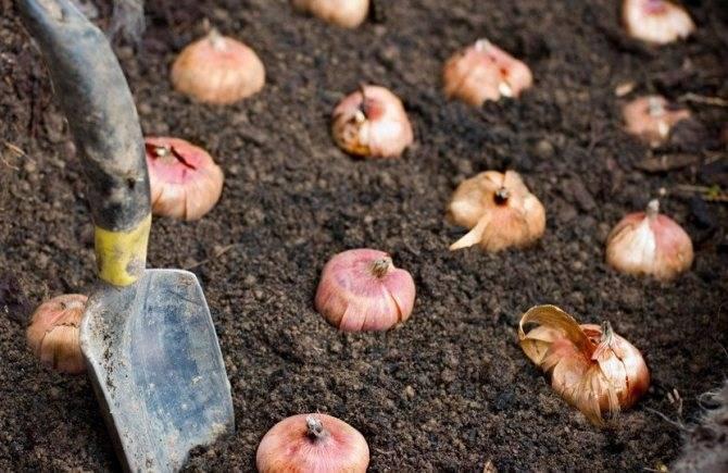 Когда сажать гладиолусы в открытый грунт весной 2019, правильный  уход и другие секреты
