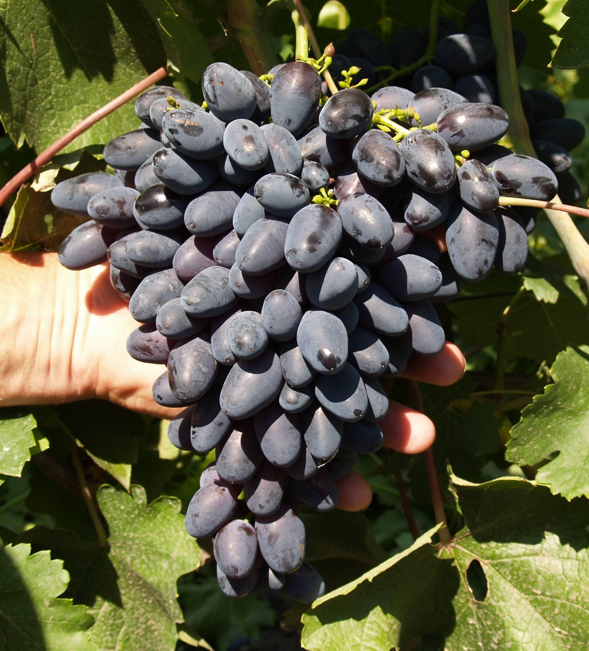 Виноград фурор - уход и выращивание, правила посадки сорта фурор