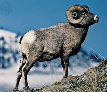 Алтайский горный баран: описание и характеристики