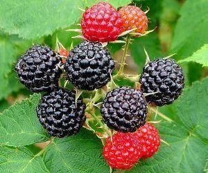 Черная малина - уход и выращивание, сорта, полезные свойства