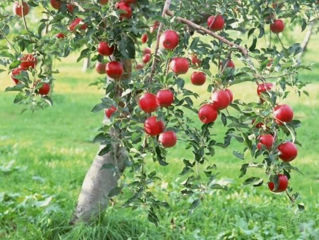 Правила посадки яблонь в сибири - мыдачники