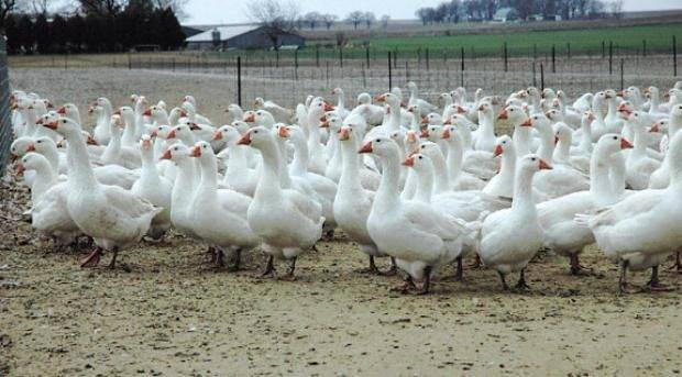 Разведение гусей как бизнес – почему гусь выгоднее свинины?
