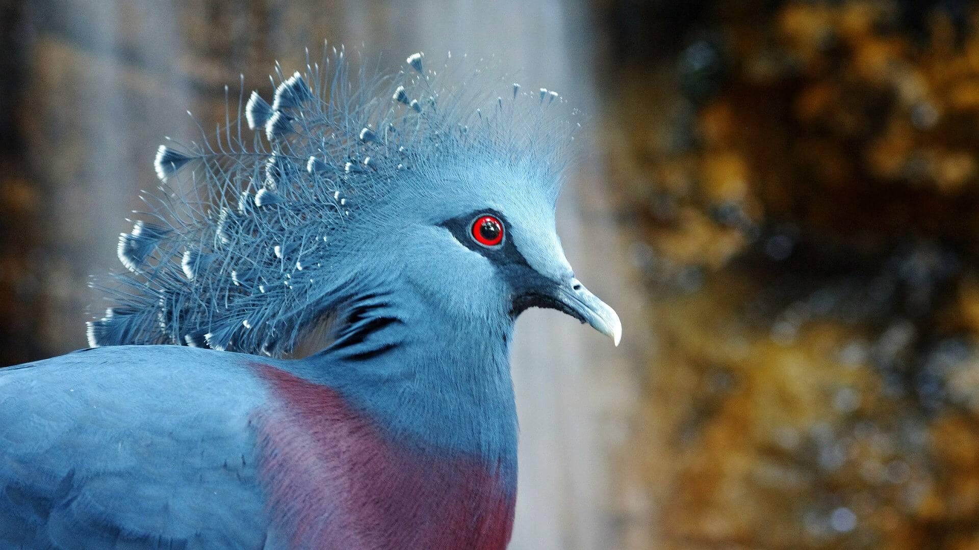 Венценосный голубь: фото, описание породы, характеристика