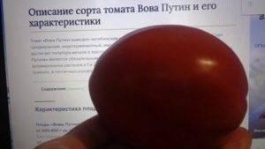 Отзывы о сорте томата вова путин