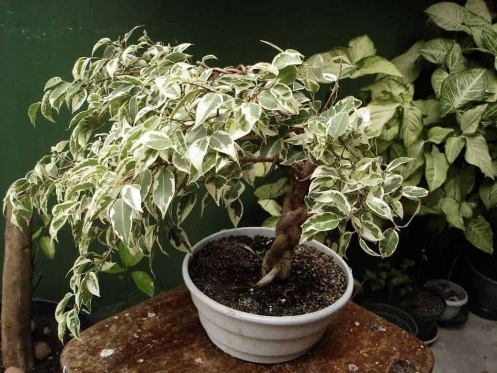 Фикус бонсай — уход и выращивание в домашних условиях