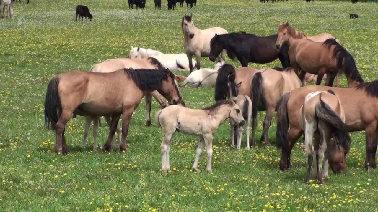 Башкирская порода лошадей: фото, описание, характеристика