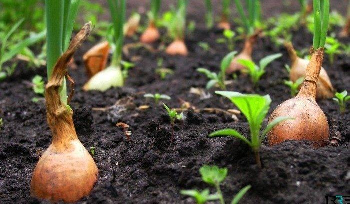 Когда сажать лук севок в открытый грунт в 2021 году, рекомендации