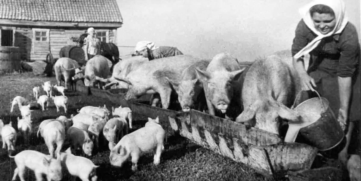 Племенная работа. скрещивание свиней