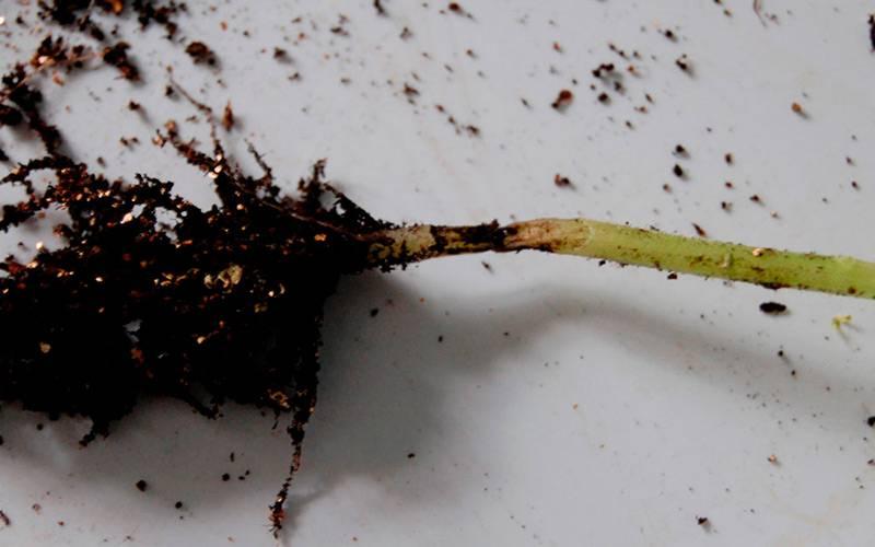 Болезни рассады баклажанов и борьба с ними: фото зараженных растений, причины и последовательность действий при лечении русский фермер