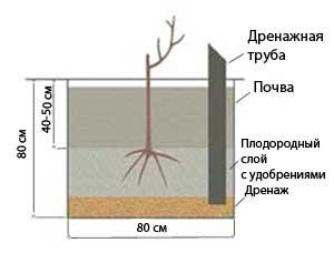 Как посадить виноград в открытый грунт