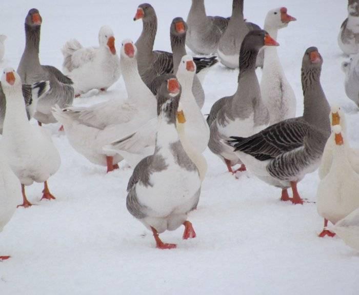 Кормление гусей: зимний рацион и нормы кормления в домашних условиях