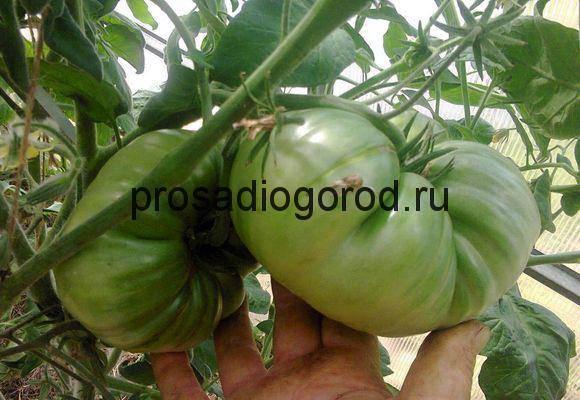 Медовый салют — описание сорта томатов и особенности выращивания