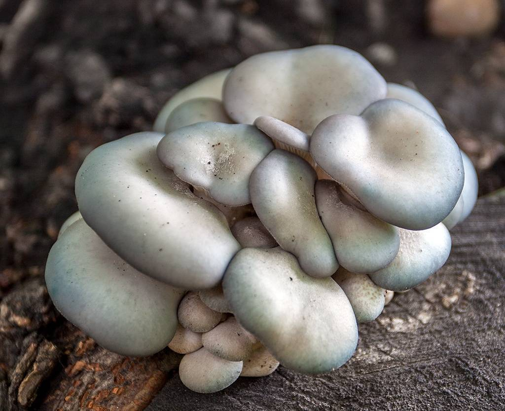 Существующие грибы-хищники. хищный гриб хищные грибы как они охотятся