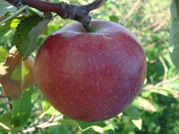 Яблоня спартан: описание сорта, посадка и уход, отзывы