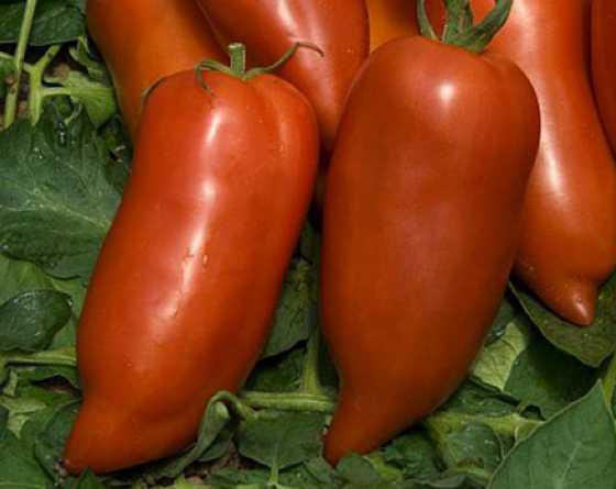 Томат корнабель: отзывы, фото, урожайность, описание сорта, характеристика, выращивание