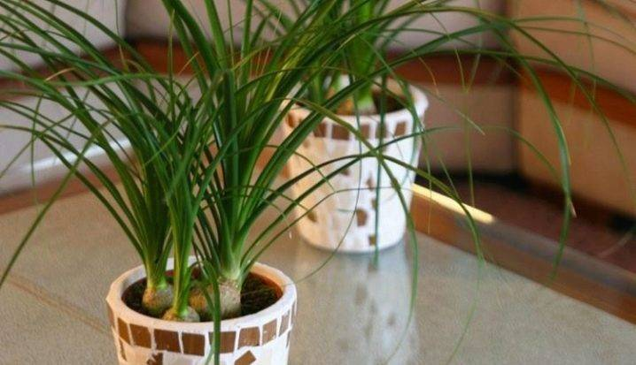 Нолина (бокарнея): фото цветка, уход, посадка, пересадка в домашних условиях и размножение растения