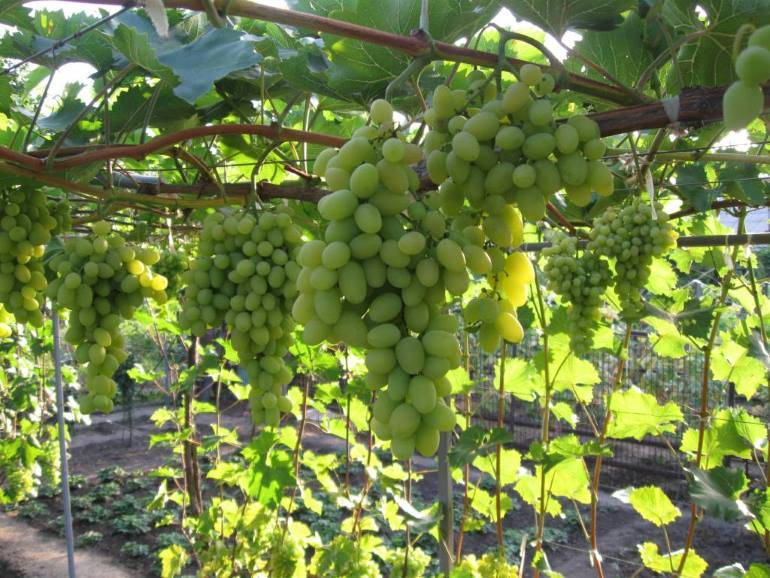 Удивительный феномен среди столовых сортов винограда
