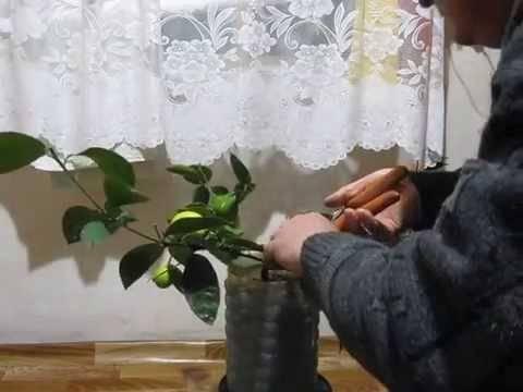 Как обрезать лимон в горшке в домашних условиях для плодоношения: как правильно сделать на комнатном дереве начинающим и когда, можно ли летом, нюансы ухода и фотодача эксперт