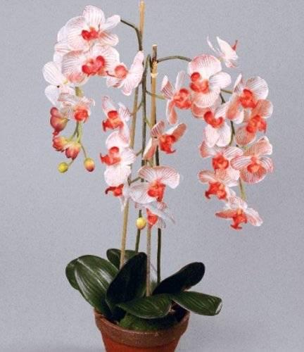 Как омолодить орхидею фаленопсис, сколько лет она обычно живет в домашних условиях, как можно обновить старое растение, что нужно делать для омоложения цветка? русский фермер
