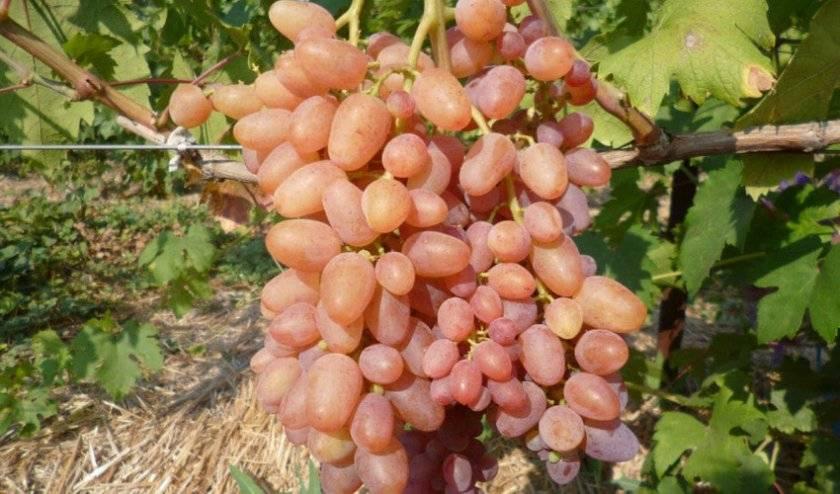 Виноград находка описание сорта фото отзывы - скороспел